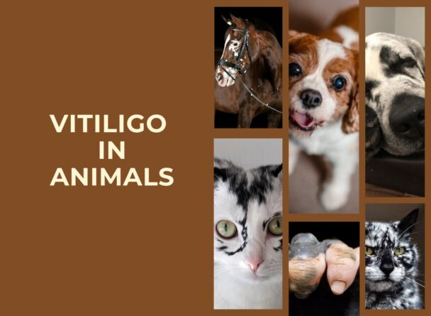 animal with vitiligo